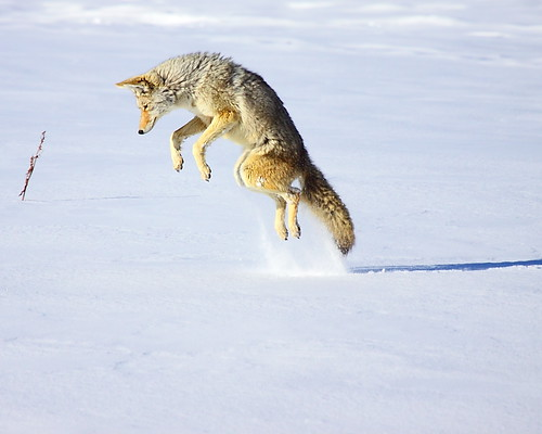 IMG_9161 Coyote Jumping for a Rodent, Yellowstone National Park | by ThorsHammer94539