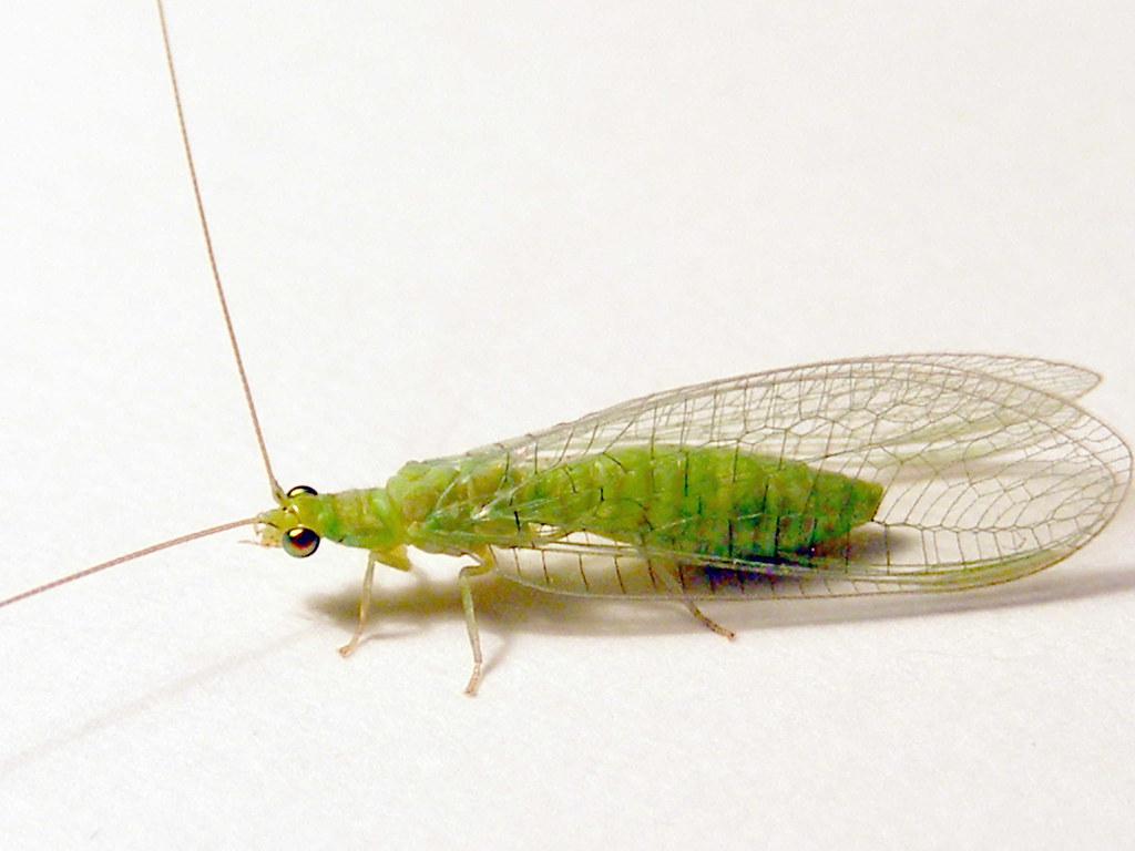 Chrysopidae gt P...N Class