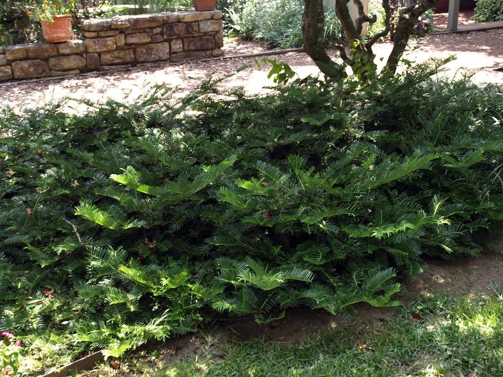 Cephalotaxus Harringtonia 39 Prostrata 39 Habit 2 Klr Clemson Extension Home Garden Information