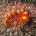 Viznaga roja (Ferocactus pilosus), FLOR