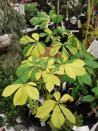 Aesculus Lunar Patches | by RHR Horticulture