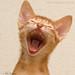 Singer (abyssinian kitten)