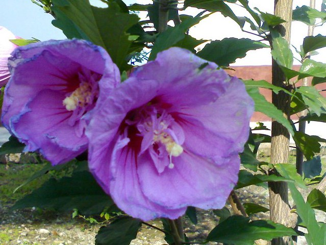 Purple Hibiscus Rose Of Sharon Hibiscus Syriacus Is A