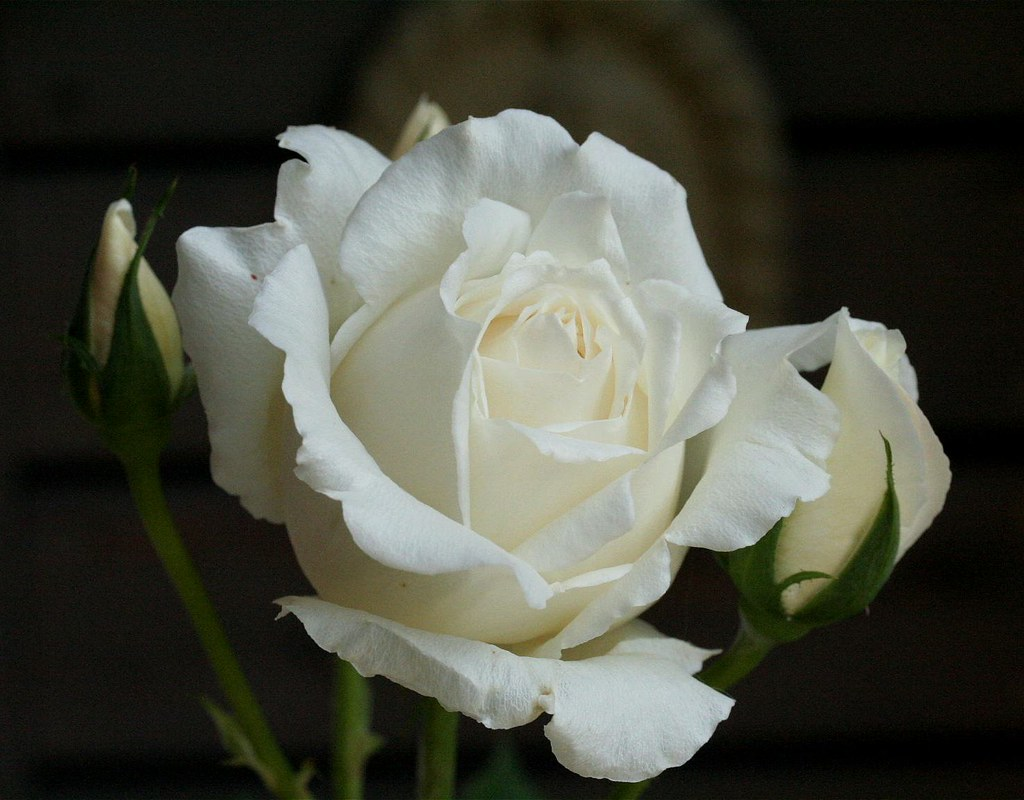 White Christmas Rose In May Hybrid Tea Rose Bred By Howard Flickr