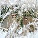 partridges in snow