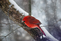 Male Cardinal in snow {Explored} | by K.Young Photography