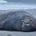 Elephant seal at dusk