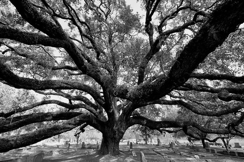 Live Oak at Glenwood | by Texas.713