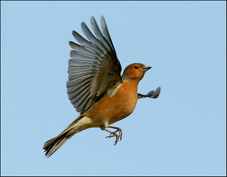 Male Chaffinch in flight | by mike turtle