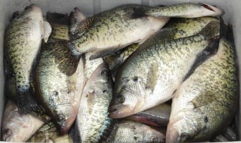 Al hamilton flickr for Reelfoot lake crappie fishing