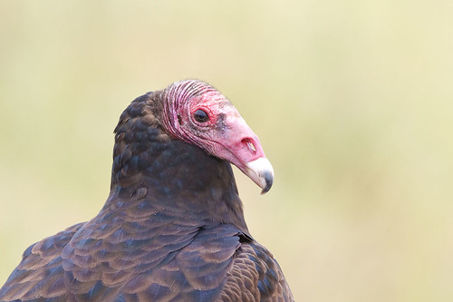 Turkey Vulture  Cathartes aura | by Peregrine's Bird Photography