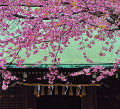 SAKURA at GOJOUTEN SHRINE | by ajpscs