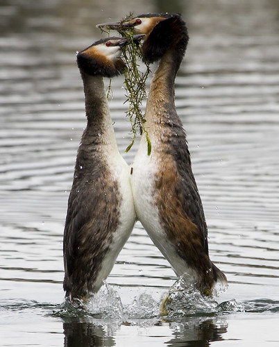 Great Crested Grebes weed ceremony | by ggwildlife