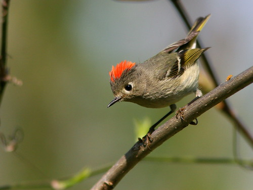 Ruby-crowned Kinglet 2-20100414 | by Kenneth Cole Schneider