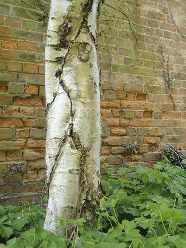 Plaited Silver Birch | by James's GW Blog