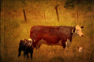Bovine | by mythlady/Elise Wormuth