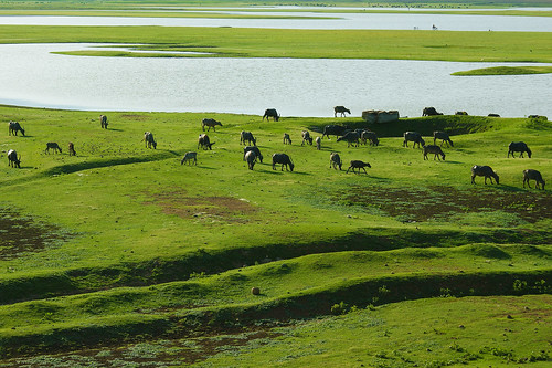 Buffaloes | by Rajarathinam.Chakravarthy