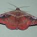 Pretty moth, Venezuela