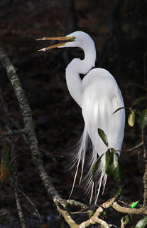 Laughing Great Egret | by bunnyfrogs