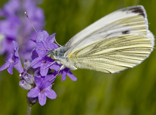 Green-veined white butterfly drinking from flower | by Roland Bogush