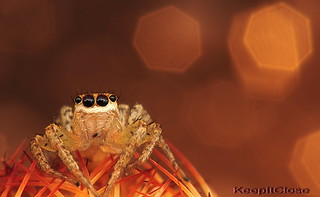 Salticidae. | by graftedno1
