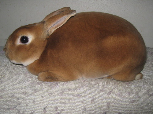 Red Mini Rex Rabbit | Sr red buck | cindy cole | Flickr