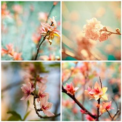 Peachy blossoms | by LHDumes