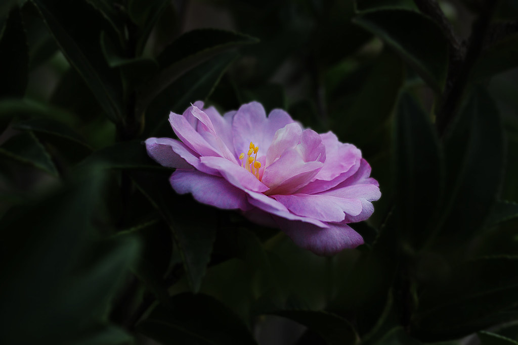 THE CAMELLIA IS ALABAMAS STATE FLOWER IN REMEMBERANCE