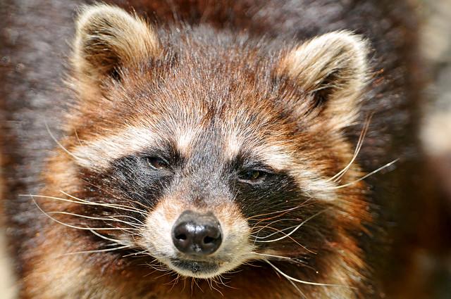 Portrait of a cute raccoon