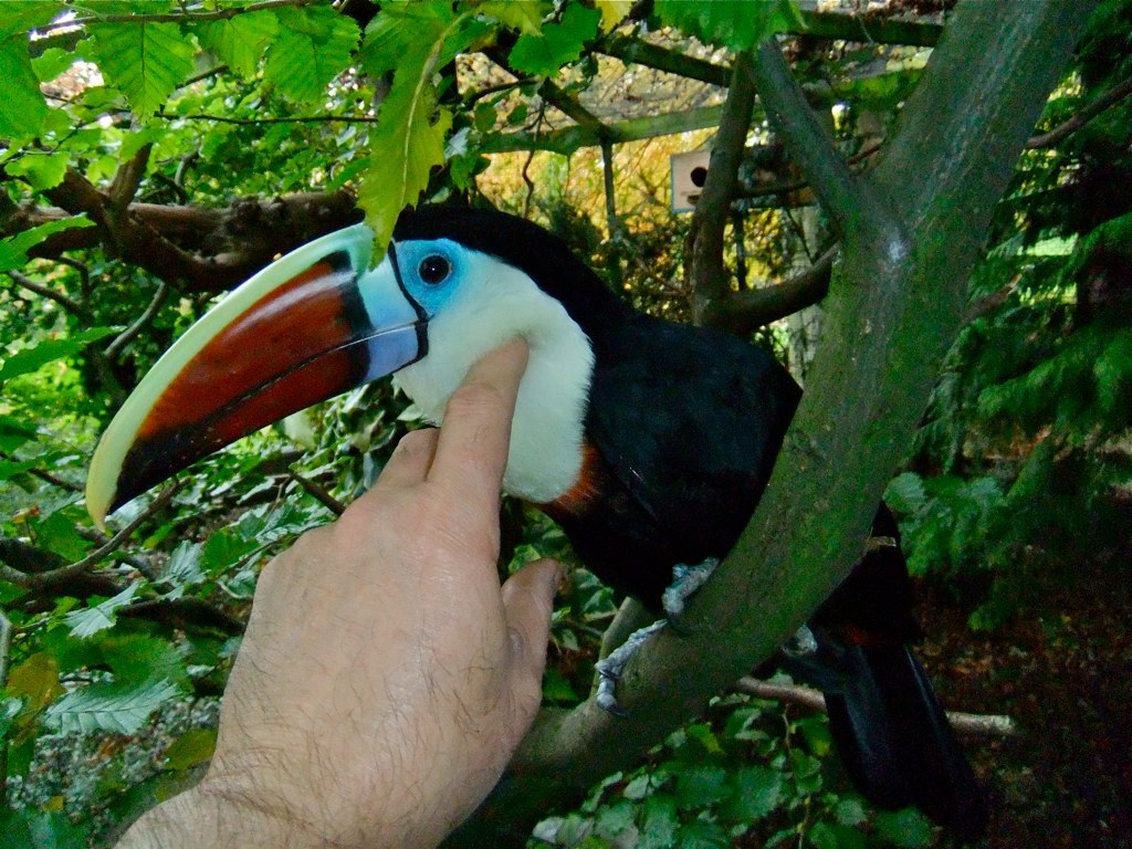 Red Billed Toucan | by p