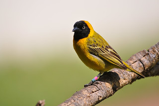 Lesser Masked-Weaver (Ploceus intermedius) ♂ | by Ian N. White