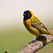 Lesser Masked-Weaver (Ploceus intermedius) ♂