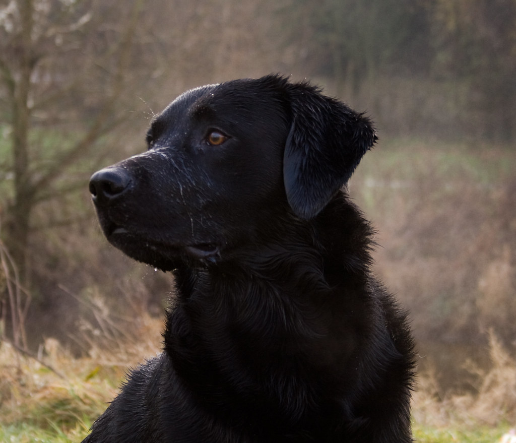 Black Labrador Gundog Black Labrador Gundog Jet