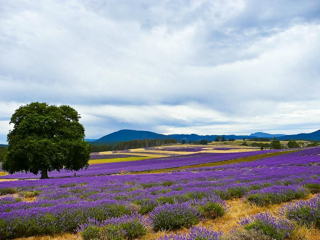Lavender Color The Bridestowe Estate ...