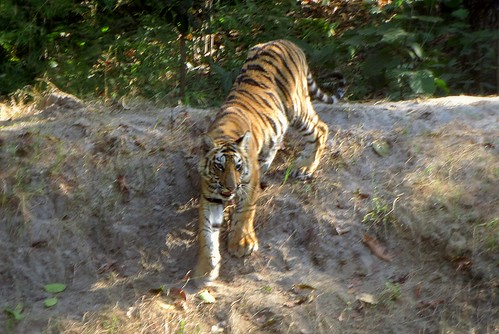 Tiger Climbing Down Tiger Climbing Down Tiger Cub