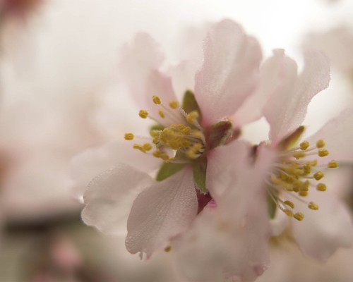 Spring Almond Blossoms, Madera, CA.  February 25, 2010 | by Robert Pearce Photography