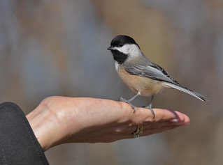 Black-capped Chickadee | by mybulldog