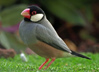 Java Sparrow Close-up - Maui, Hawaii | by Barra1man
