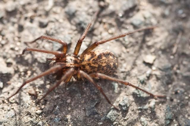 A Man eating spider | Flickr - Photo Sharing!
