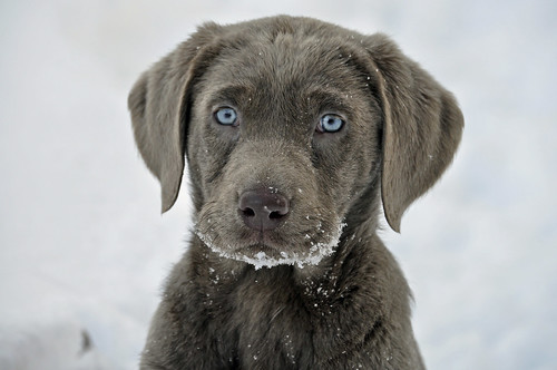 Harley, our new silver lab puppy | by alaskagirl1..trying to keep warm !!