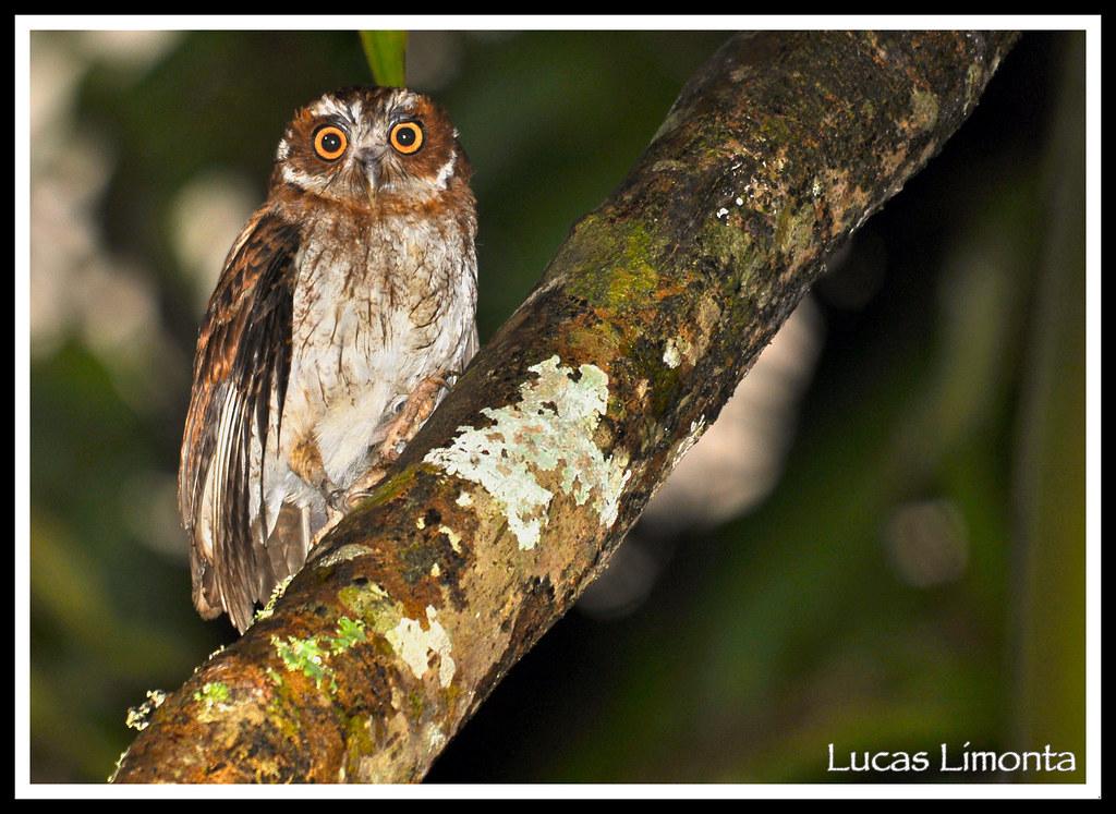 Name Puertorriqueno: Puerto Rican Screech-Owl (Megascops Nudipes)