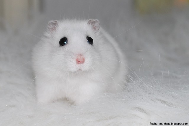 winter white dwarf hamster babies wwwimgkidcom the