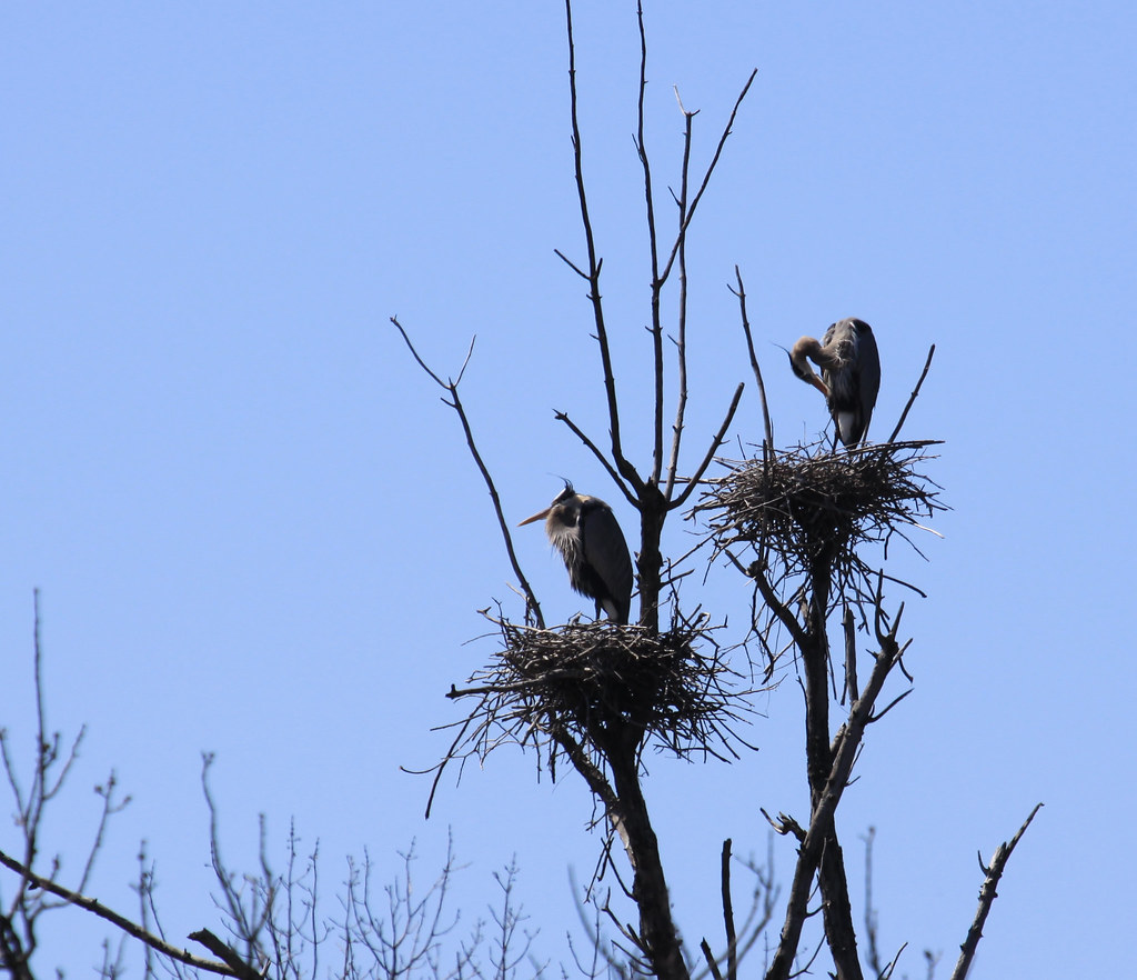 great blue heron rookery 169 a out of range for my ca flickr