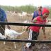 livestock-farming-mcf