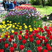 BBG's Annual Tulip Display