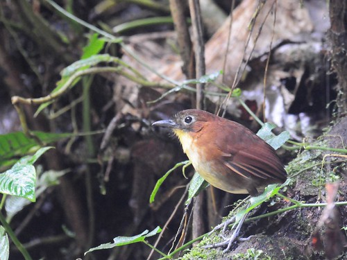 Yellow-breasted Antpitta | by VSmithUK