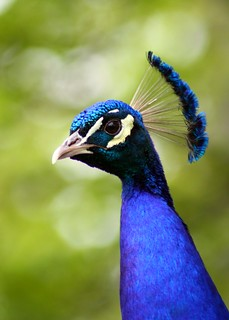 Proud as a Peacock | by GollyGforce - Living My Worst Nightmare