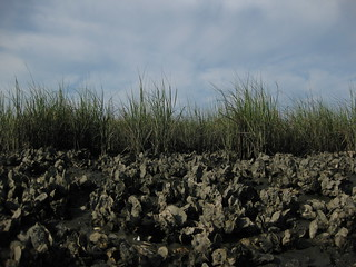 Oyster reef adjacent to salt marsh- Alligator Harbor | by wfsu.org