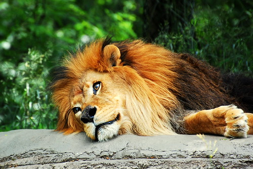 Lion | by Scott Michaels