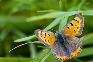 Small Copper butterfly Lycaena phlaeas | by Roland Bogush
